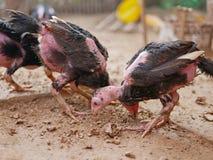 站立在有他们的羽毛损失的一个小屋的年轻鸡,哺养与白蚁 免版税库存照片