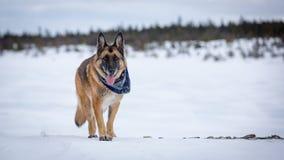 站立在有森林的冻湖的德国牧羊犬狗backg的 免版税库存图片