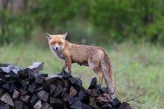 站立在木堆的女性镍耐热铜狐狸狐狸在雨中 免版税库存图片