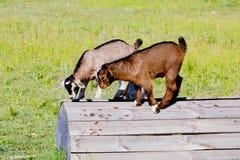 站立在木平台的两个年轻山羊孩子 免版税库存照片