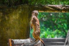 站立在木材的Meerkat 免版税图库摄影