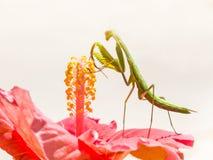 站立在木槿花的螳螂 免版税库存图片