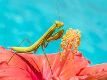 站立在木槿花的螳螂 库存照片