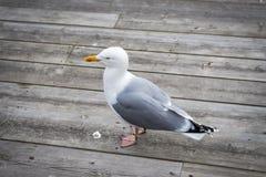 站立在木甲板的海鸥 免版税图库摄影