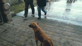 站立在木门廊的无家可归的狗,看通过粗心大意地的人 股票视频