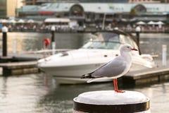站立在杆的银色鸥海鸟在与弄脏的日落期间 免版税图库摄影
