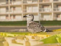 站立在条板箱的幼小鲱鸥(鸥属Argentatus)在鱼市上 免版税库存图片