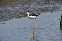 站立在查帕拉湖边缘的黑收缩的高跷Himantopus mexicanus  免版税库存图片