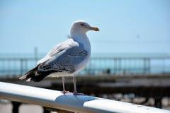 站立在栏杆的海鸥的细节在海岸旁边 图库摄影