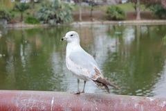 站立在栏杆的海鸥 库存照片