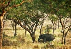 站立在树下树荫的非洲大象  免版税图库摄影