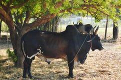 站立在树下的黑公婆罗门牛在农场 库存图片