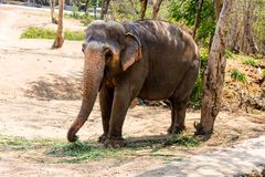 站立在树下&吃与锁着的大象草在脚趾由链绳索在动物园 库存图片