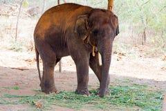 站立在树下&吃与锁着的大象草在脚趾由链绳索在动物园 库存照片