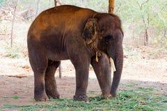 站立在树下&吃与锁着的大象草在脚趾由链绳索在动物园 免版税图库摄影