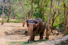 站立在树下&吃与锁着的大象草在脚趾由链绳索在动物园 免版税库存图片