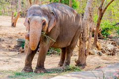 站立在树下&吃与锁着的大象草在脚趾由链绳索在动物园 免版税库存照片
