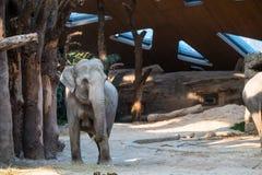 站立在树前面的大,灰色动物 免版税库存图片