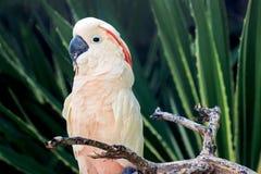 站立在树干的一只白色鹦鹉 免版税库存照片