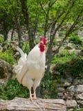 站立在树干的一只骄傲的白色雄鸡的Portait 免版税库存图片