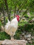 站立在树干的一只骄傲的白色雄鸡的Portait 免版税库存照片