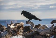 站立在树干的乌鸦 库存照片
