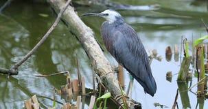 站立在树干的面无血色的苍鹭在河 股票录像