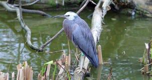站立在树干的面无血色的苍鹭在河 影视素材
