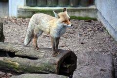 站立在树干的Fox 库存照片