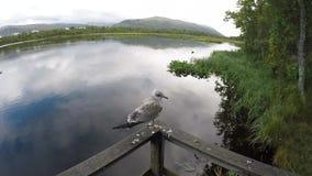 站立在树木繁茂的路轨的海鸥有迅速移动镇静池塘水的背景  股票视频