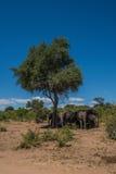 站立在树树荫下的大象牧群  免版税图库摄影
