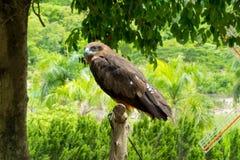站立在树桩的猎鹰 免版税库存图片