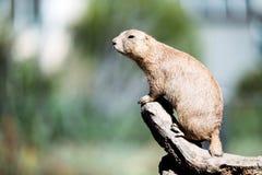 站立在树的小的土拨鼠画象本质上 库存图片