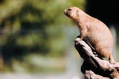 站立在树的小的土拨鼠画象本质上 免版税库存照片