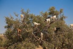 站立在树的山羊 库存图片