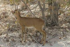 站立在树,埃托沙国家公园,纳米比亚树荫下的小羚羊  库存图片