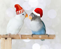 站立在栖息处的蓝色和白色爱情鸟戴在被弄脏的bokeh和雪花背景的圣诞老人帽子 库存图片