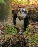 站立在根的白鹭的羽毛 图库摄影