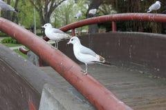 站立在桥梁栏杆的两只海鸥 库存图片