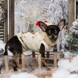 站立在桥梁的穿戴的奇瓦瓦狗小狗 库存图片