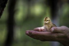 站立在棕榈的婴孩小鸡 免版税库存图片