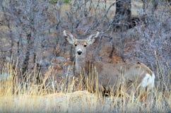 长耳鹿母鹿 图库摄影