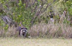 站立在森林边缘的浣熊在县pa的绿草附近 免版税库存照片