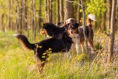 站立在森林里的三只澳大利亚牧羊犬 库存照片