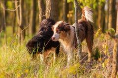 站立在森林里的两只澳大利亚牧羊犬 免版税库存照片