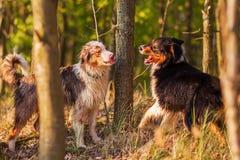 站立在森林里的两只澳大利亚牧羊犬 图库摄影