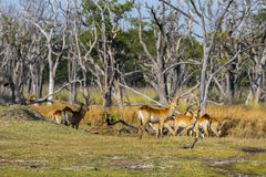 站立在森林里的红色lechwe牧群 免版税库存图片