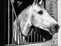 站立在槽枥的马 免版税图库摄影