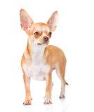 站立在正面图的奇瓦瓦狗小狗 隔绝在白色backgr 免版税图库摄影