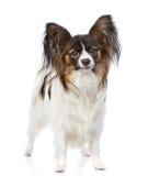站立在正面图的Papillon小狗 查出在白色 免版税库存照片